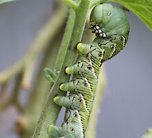 Little brother tomato hornworm..... by DonnaMoore