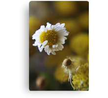 White light (from wild flowers collection) Canvas Print