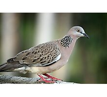 Streptopelia chinensis  (Spotted Turtle Dove) Photographic Print
