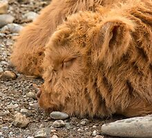 Resting Highland Calf by M.S. Photography/Art