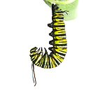 Monarch Caterpillar in a J by Molly  Kinsey