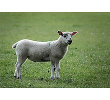 Lamb Photographic Print