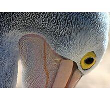 Australian Pelican Photographic Print