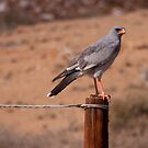 Pale chanting goshawk. South Africa. by Fineli