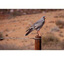 Pale chanting goshawk. South Africa. Photographic Print