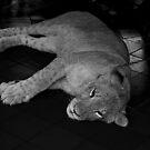 Lion Cub by mrfriendly