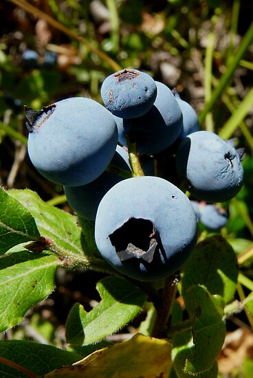 Blue Berries by MaeBelle