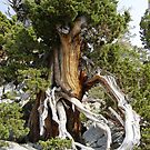 Tree in Lake Tahoe by Esperanza Gallego