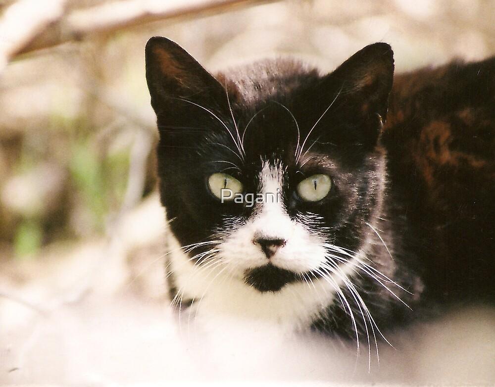Tuxedo Feral Cat  by Pagani