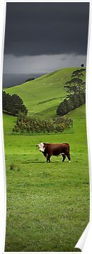 Hereford bull - Gippsland by Tony Middleton