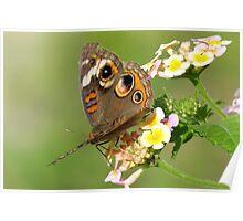 Buckeye butterfly.•*¨`*•  Poster