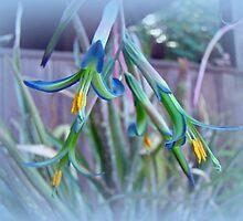 Bromeliad in Bloom - Bilburgea nutans - Quissett by MotherNature