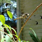 Great Blue Skimmer dragonfly (female) by May Lattanzio