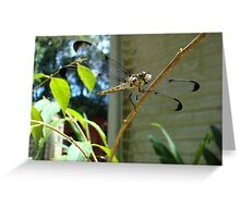 Great Blue Skimmer dragonfly (female) Greeting Card
