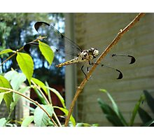Great Blue Skimmer dragonfly (female) Photographic Print