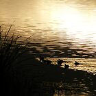 Baby Ducks at Dawn - Lake Curlew, NSW by Gregory McInnes