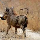 ATTITUDES OF THE WARTHOG  ! -( Phacochoerus aethiopicus) by Magaret Meintjes