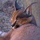 CARACAL - Felis caracal - 1125 views 2011/09/09 by Magriet Meintjes