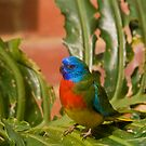 Scarlet-Chested Parrot by Malcolm Katon
