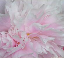 LOVELY PINK PEONY by Teresa Chipperfield