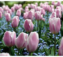 Pink Tulips at Queen Elizabeth Park Photographic Print