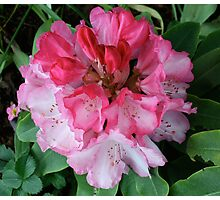 Pink Rhododendrons Adorning Vancouver Photographic Print