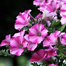 Cascade of Pink Petunias by Wolf Read