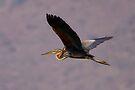 Purple Heron by David Clark