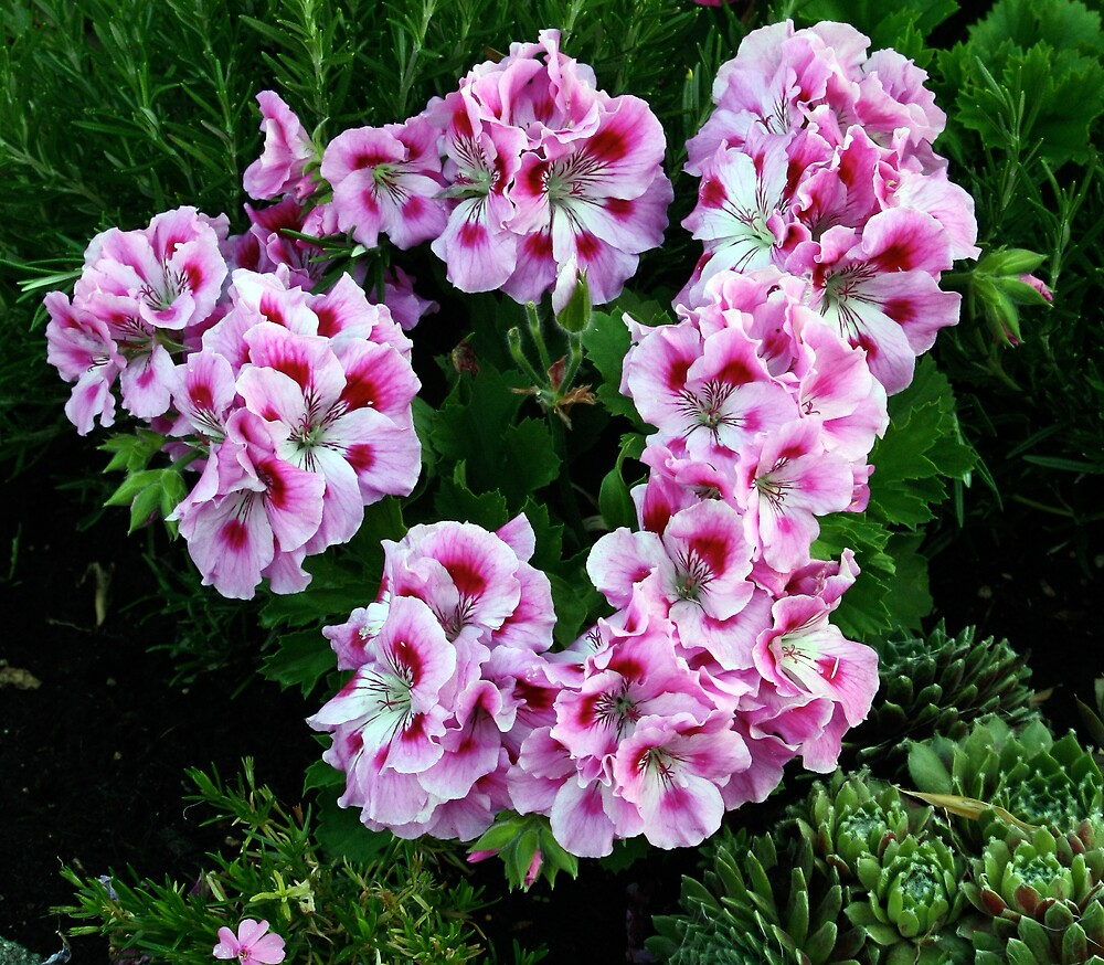 Wreath of Pink Geraniums by Wolf Read
