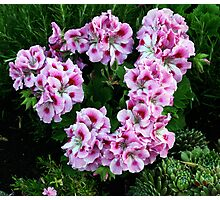 Wreath of Pink Geraniums Photographic Print