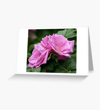 Pink Roses Atop Rich Foliage Greeting Card
