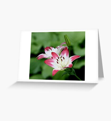 Lily of the Hot-Pink and White Persuasion Greeting Card
