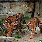 Tigers ~ by Anne-Marie Bokslag by Anne-Marie Bokslag