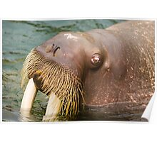 Cool Walrus