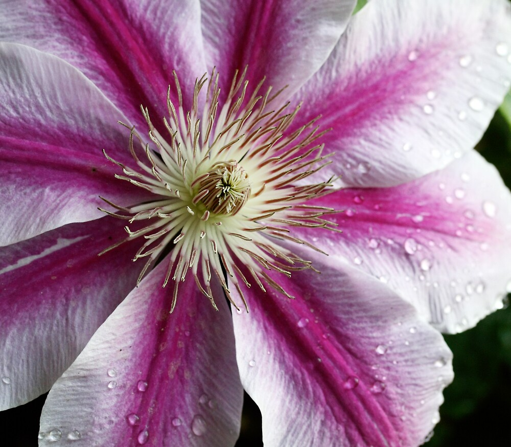 A Burst of Pink Clematis by Wolf Read