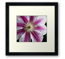 A Burst of Pink Clematis Framed Print