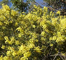 Blue Sky & Bright 'Flinders Ranges Wattle.' Native.  'Arilka'    by Rita Blom