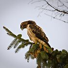 Red Tailed Hawk: A Magnificent Raptor by David Friederich