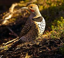 Northern Flicker by David Friederich