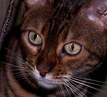 Curious cat by evilcat