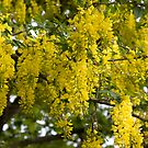 Laburnum by Michael Hadfield