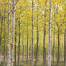 aspen trees in beside Rio Pisuerga river, Spain by Christopher Barton