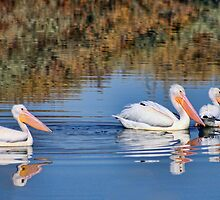 Wrong way Pelicans by Tammy  (Robison)Espino
