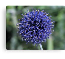 Purple.......or is that blue?? Canvas Print