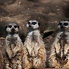 Meerkat queue by evilcat