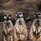 Meerkat queue by evilcat