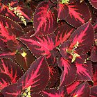Coleus (Solenostemon) by Jann Ashworth