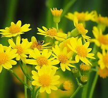 Common Ragwort by lorilee