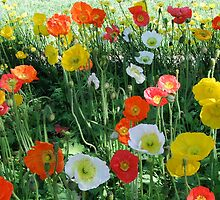 Poppies by medley