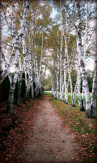 Birch Walk by Ginny Schmidt